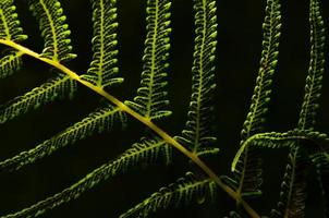 retroiluminado samambaia com sementes na parte inferior da folha contra fundo preto