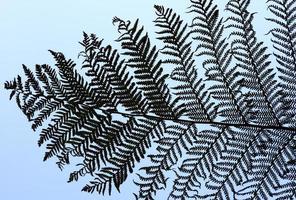 ramos de samambaia de prata foto