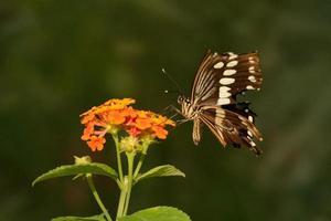 borboleta rabo de andorinha gigante com asas quebradas foto