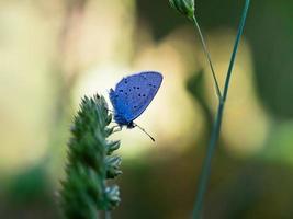cupido (everes) alcetas - azul de cauda curta provençal. foto