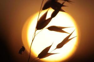gramíneas retroiluminadas foto