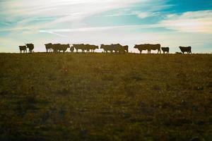 vacas pastando ao pôr do sol