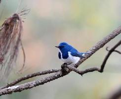 belo pássaro azul, papa-moscas ultramarino, empoleirando-se no galho