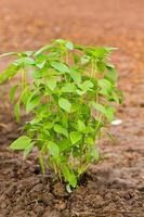 folha de manjericão sagrado
