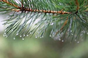 galho de árvore do pinheiro e gotas em dia de outono foto