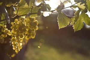 uvas na luz solar
