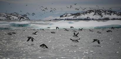 muitos guillemots decolando sobre a água em contraluz foto