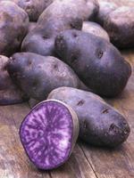 batata azul-violeta vitelotte (solanum × ajanhuiri vitelotte noir foto