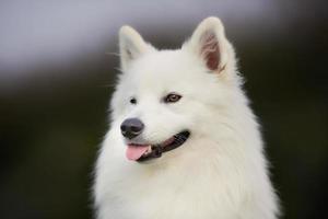 cão samoiedo pedigree foto