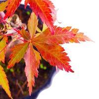 Acer Palmatum foto