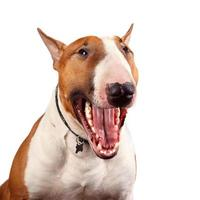 retrato de um alegre bull terrier foto