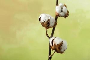 planta de algodão com espaço para texto foto