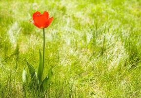 sozinho flor tulipa ao ar livre. copie o espaço foto