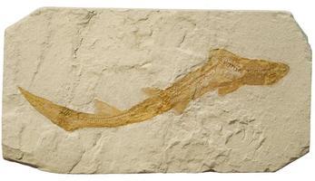fóssil de um pequeno tubarão.
