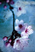 flores de cerejeira foto