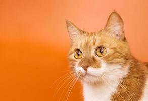 gato curioso olhando. copie o espaço foto