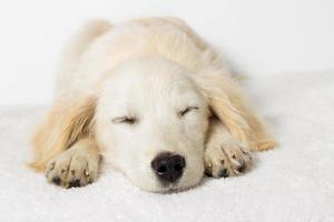 filhote de cachorro labrador dormindo foto