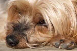 nariz yorkshire terrier closeup foto