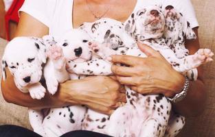 mão humana real segurando muitos filhotes dálmata close-up foto