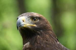 águia de perto foto