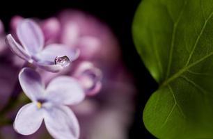 close-up lilás foto