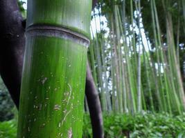 bambu de perto