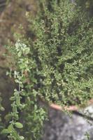 ervas em vasos close-up
