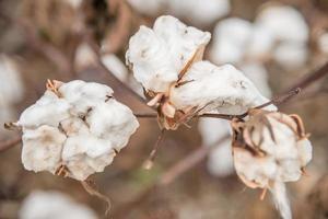 close-up de planta de algodão foto