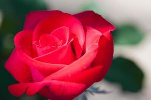 rosas fechem. fundo foto
