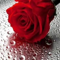 linda rosa close-up foto