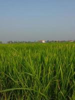 fram de arroz close-up foto