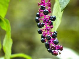 pokeberries foto