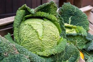repolho verde close-up foto
