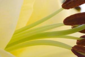close-up de lírio oriental foto