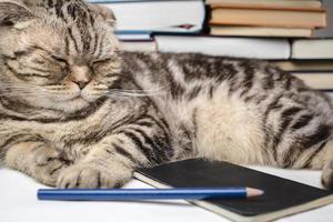 gato engraçado dobra escocesa fazendo lição de casa foto