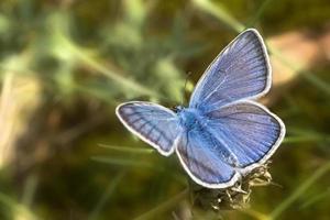o pequeno azul (cupido minimus) foto