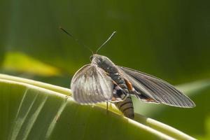 a traça da borboleta, paysandisia archon foto