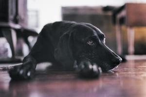 cães berkshire foto