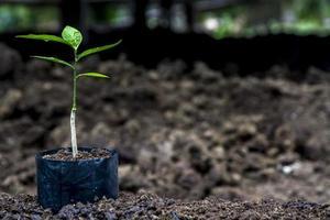 pequena árvore verde, brotam para plantar na fazenda foto
