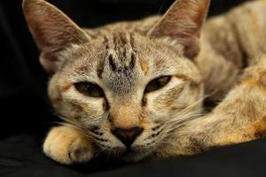 close-up do retrato de gato doméstico foto