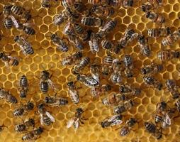 pente de mel e uma abelha trabalhando