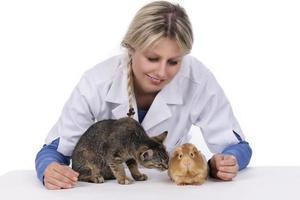 veterinário feminino com gato e porquinho da Índia foto