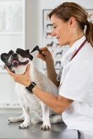 clínica veterinária com um bulldog francês foto