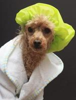 cão na touca de banho