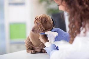 cão shar pei recebendo curativo após lesão na perna foto