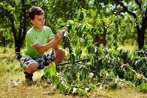 criança adolescente, colhendo cerejas