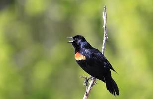 melro-de-asa-vermelha macho foto