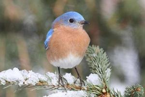 bluebird oriental masculino na neve foto