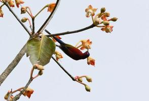 pássaro-marinho-macho (aethopyga gouldiae)