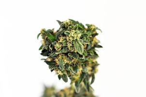 maconha medicinal foto